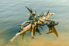 stary fiszorka drzewo Fotografia Stock