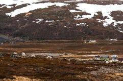 Stary framehous i renifery w Lapland Zdjęcia Stock