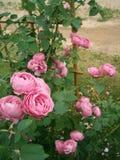 Stary francuz Różany Louise Odier Fotografia Stock