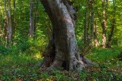Stary gęsty drzewo w lesie zdjęcia royalty free