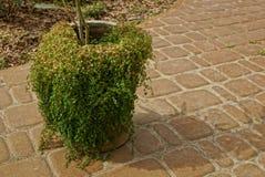Stary garnek przerastający z zielonymi roślinność stojakami na brązu chodniczku obrazy stock