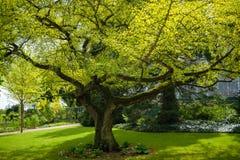 Stary Ginkgo drzewo od 1860 w kasztelu ogródzie Grodowy Schwerin w wiośnie zdjęcia stock