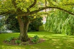 Stary Ginkgo drzewo od 1860 w kasztelu ogródzie Grodowy Schwerin w wiośnie fotografia stock