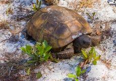 Stary i Marszczący Floryda Gopher Tortoise obraz stock