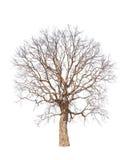 Stary i nieżywy drzewo Zdjęcia Stock