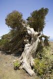 stary jałowcowy drzewo kształtny wiatr zdjęcia royalty free