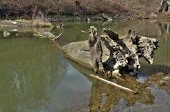 Stary kawałek drzewo zanurzał w wodny czarny i biały Fotografia Stock