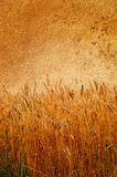 stary klajstrujący dojrzały ścienny pszeniczny cudowny Zdjęcia Royalty Free