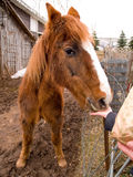 Stary koń Karmiący ręką Obrazy Royalty Free
