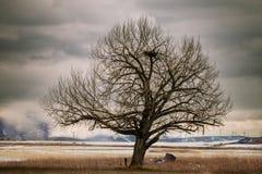 Stary Koślawy drzewo w polu Z Big Bird gniazdeczkiem zdjęcia stock