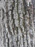 Stary korowaty drzewo obraz stock