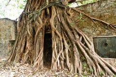 stary korzeniowy drzewo Obraz Royalty Free