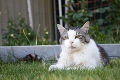 Stary kot kłaść outside Fotografia Royalty Free