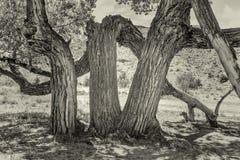 Stary kręcony cottonwood drzewo w jarze fotografia stock