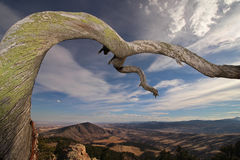Stary kręcony drzewo przedłużyć zewnętrznego nad pogórzami obrazy royalty free