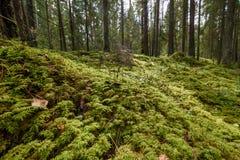 Stary las z mech zakrywał drzewa i promienie słońce Zdjęcia Royalty Free