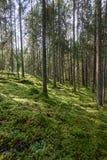 Stary las z mech zakrywał drzewa i promienie słońce Obrazy Royalty Free