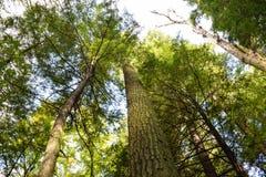 stary leśny wzrostu Zdjęcia Royalty Free