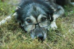 Stary mądry pies w szkłach Obrazy Royalty Free