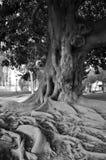 Stary mądry drzewo Zdjęcia Royalty Free