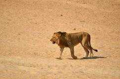 Stary męski lew (Panthera Leo) Zdjęcie Stock