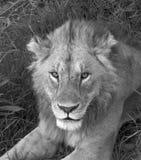 Stary męski lew w Tanzania Zdjęcia Royalty Free
