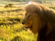 Stary męski lew w trawie w afryce poludniowa Fotografia Royalty Free