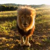 Stary męski lew w trawie w afryce poludniowa Zdjęcie Royalty Free