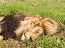 Stary męski lew w trawie w afryce poludniowa Fotografia Stock