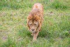 Stary męski lwa odprowadzenie w trawie Zdjęcie Stock