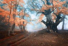 Stary magiczny drzewo z dużymi czerwień liśćmi, gałąź i pomarańcze i zdjęcie stock