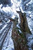 Stary mapple drzewo Obraz Stock
