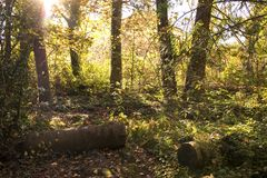 Stary mechaty drzewo loguje się słonecznego dzień, tło, natura projekt zdjęcia stock