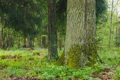 Stary monumentalny dębowy drzewo Zdjęcie Stock