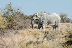 Stary Namibijski słoń rusza się przez sawannowych lasów Obraz Stock