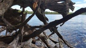 Stary nieżywy drewno Fotografia Royalty Free