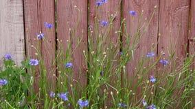 Stary ogrodzenie z obieranie kwiatami w miasteczku w Stany Zjednoczone Ameryka i farbą zwiastuje przyjazd zdjęcie wideo