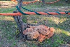 Stary Oliwny bagażnik i sieci dla oliwki żniwa obraz stock