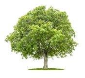 Stary orzecha włoskiego drzewo zdjęcie royalty free