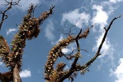Stary owłosiony osamotniony drzewo z suchymi gałąź w himalajskich górach z niebieskie niebo chmurami uciszać barwi Obrazy Stock
