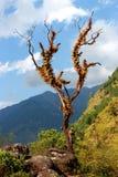 Stary owłosiony osamotniony drzewo z suchymi gałąź w himalajskich górach z niebieskim niebem chmurnieje Zdjęcia Royalty Free