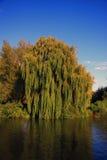 Stary Płacze Wierzbowy drzewo Zdjęcie Royalty Free