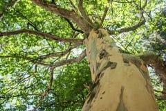 Stary płaski drzewo Obrazy Royalty Free