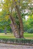 Stary płaski drzewo w parku Obraz Stock