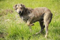 stary pies Zdjęcie Stock