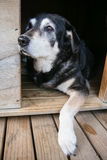 Stary pies w psiarni Fotografia Stock