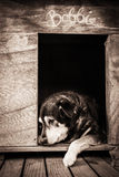 Stary pies w psiarni Zdjęcia Royalty Free