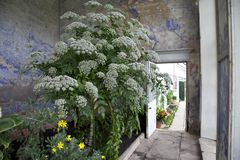 Stary Podławy Modny konserwatorium z gigantycznym rośliny dorośnięciem inside zdjęcia royalty free
