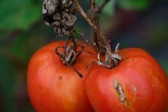 Stary pomidor zdjęcie royalty free