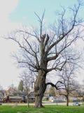 Stary powyginany wielki drzewo w Garfield parku Bobową zatoczką w Indianapolis Indiana, Wysoka panorama fotografia stock